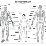 Dibujo El cuerpo humano 1494342181