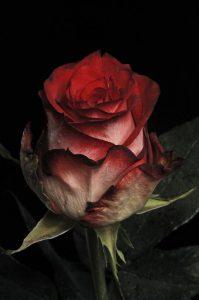 Dibujo rosas 1510748565