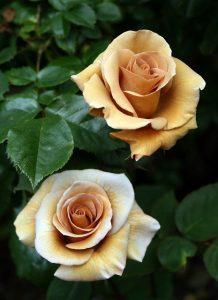 Dibujo rosas 1510748612